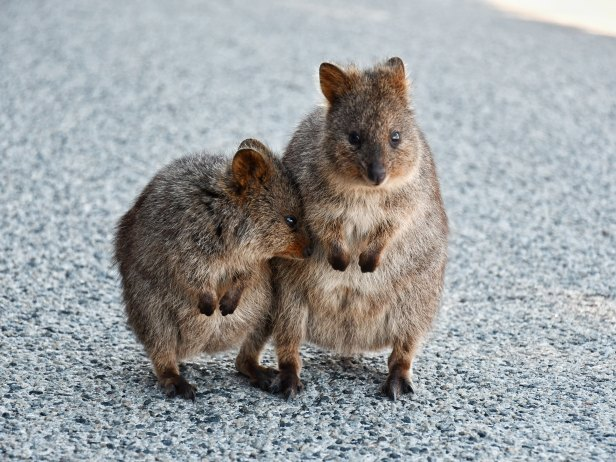 Quokka_Rottnest Island_Australien_julieta-julieta-1624308-unsplash