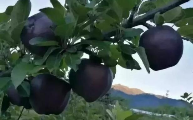 Schwarzer Apfel (1)